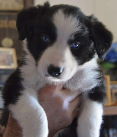Image Result For Border Collie Puppies For Sale In Va Beach