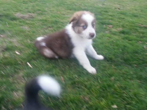 Abca Border Collie Puppy Male For Sale In Estacada Oregon