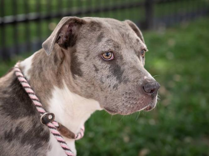 Abigail Catahoula Leopard Dog Adult - Adoption, Rescue