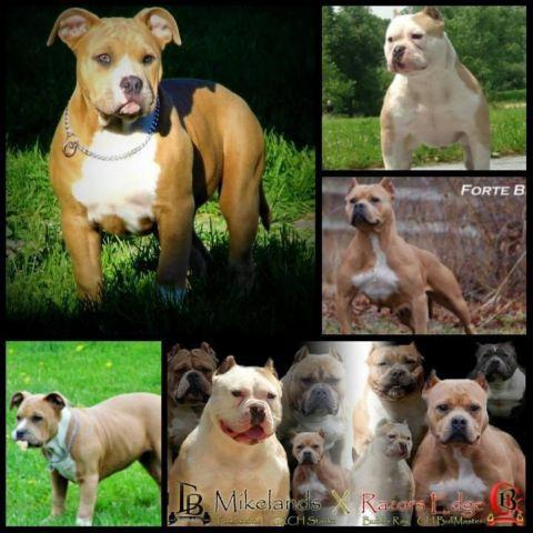 ABKC American Bully Female Puppy - 20 Weeks Old