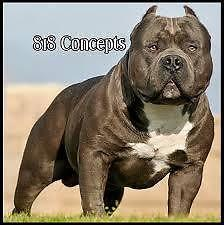 ABKC American Bully off of Grand Champion POKEMON for CHEAP!!! for