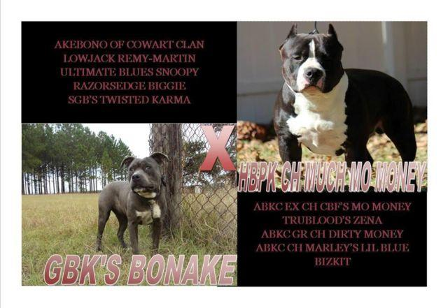 ABKC &RKC REGISTERED AM  BULLY PUPS  for Sale in Uvalda