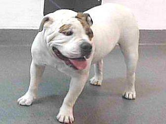 about 20-13087 American Bulldog Young Male
