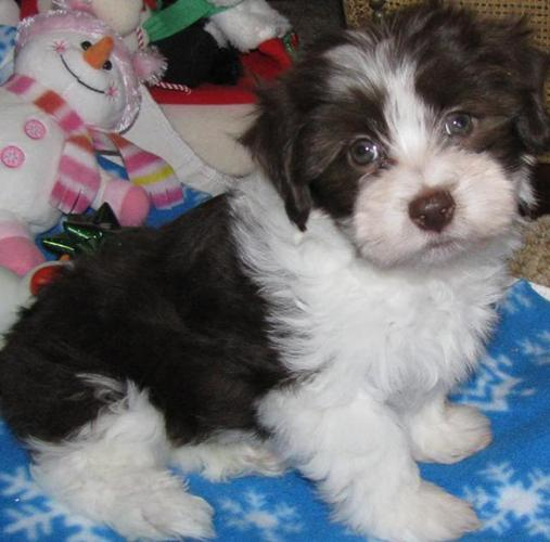 About Havanese non shedding dogs breeds small puppies puppy pups AKC  Breeders Chocolate