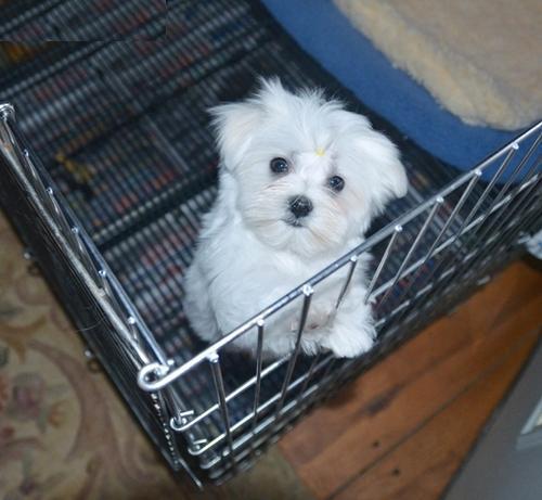 Female maltese puppies for sale in dallas tx and forex mti 4.0