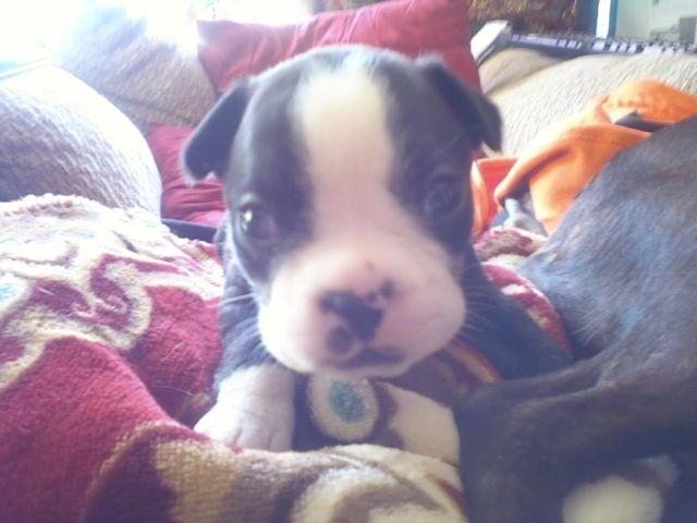 Absolutely adorable Boston Terrier puppies