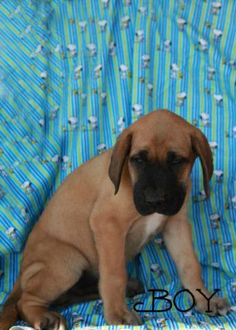 Absolutely Adorable Daniff Puppies For Sale In Evart