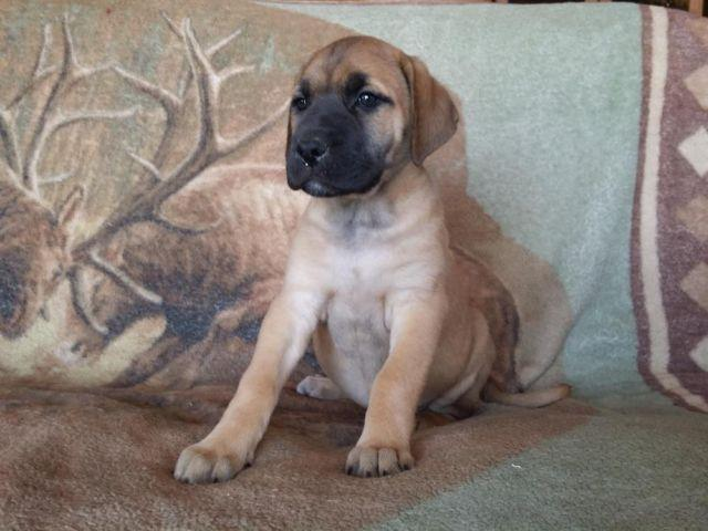 Mastiff Great Dane Mix Puppies For Sale Images & Pictures - Becuo