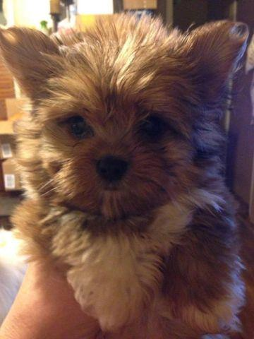 yorkie and pomeranian mix absolutely adorable yorkie pomeranian mix puppy for sale 9605
