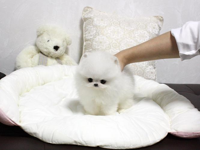 Absolutely Gorgeous Pomeranian Puppies