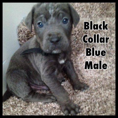 aca akc iccf registered cane corso puppy for sale in east vineland