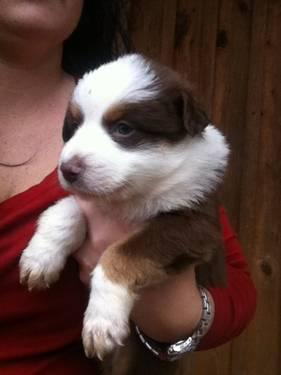 ACA Australian Shepherd puppies
