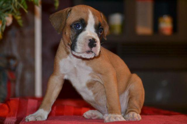 boxers puppies for sale in oklahoma aca boxer puppies 8 weeks old for sale in luther oklahoma 977