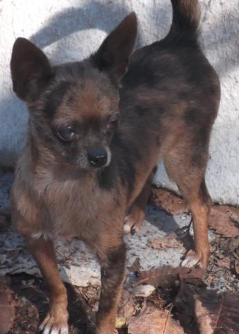 ACA Chihuahua female,brown merle2 years old, very small Mud Pie
