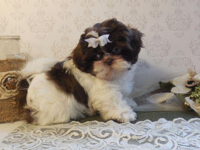 Shih Tzu Pets And Animals For Sale In Big Cove Tannery Pennsylvania