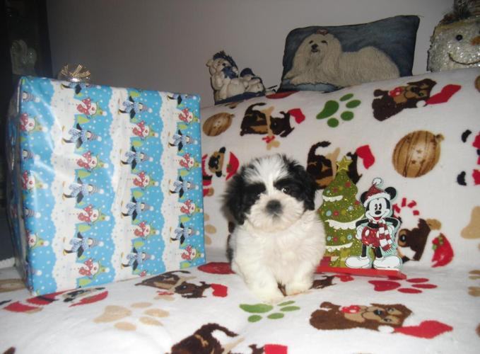 ACA LHASA APSO CUTE CHRISTMAS PUPPY