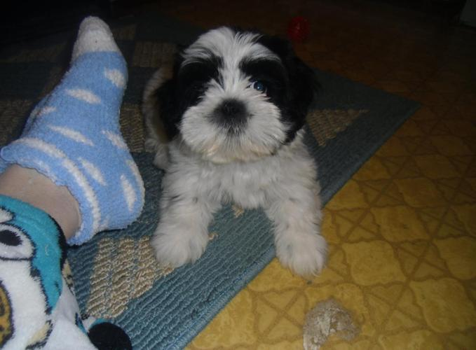 ACA LHASA APSO Fluffy brown Puppy male 1-2-shots