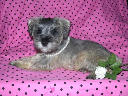 ACA Miniature Schnauzer female puppy Precious!!!!