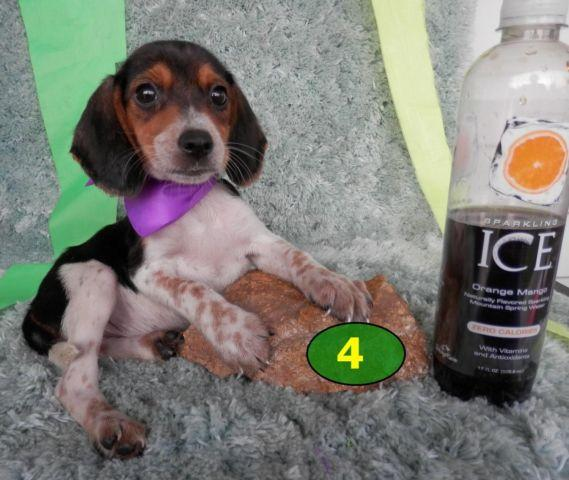 Aca Pocket Mini Beagle Puppies 9 10