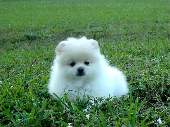 male pomeranian for sale aca pomeranian male puppy for sale in cullman alabama 5377