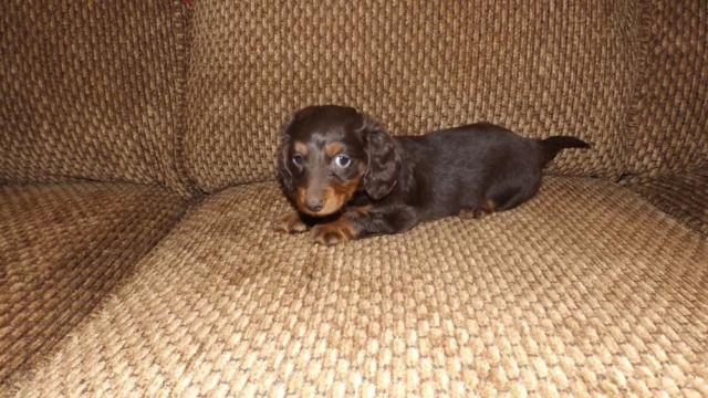 Aca Purebred Mini Long Haired Dachshund Puppies Two Left For
