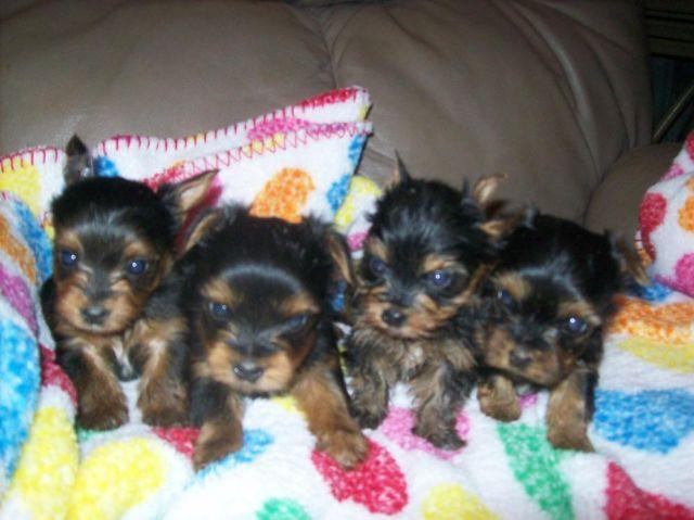 purebreed yorkie aca purebred yorkie teacup yorkshire terrier puppies for 3419