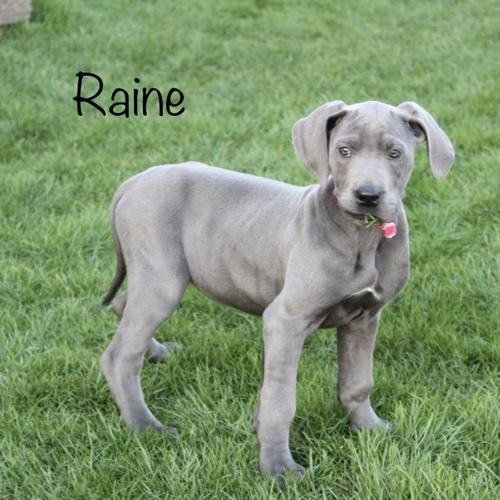 Aca Registered Blue Great Dane Puppies For Sale For Sale In