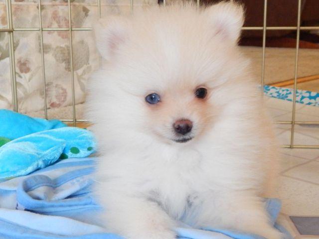 Aca Registered Cream Color Pomeranian