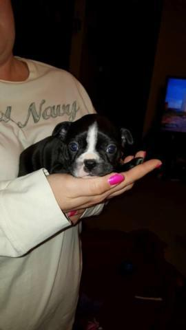 ACA Registered Female Boston Terrier Puppy- Ready