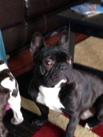 ACA registered french bulldog
