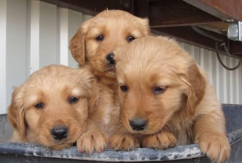Aca Registered Golden Retriever Puppies For Sale In Bents Fort