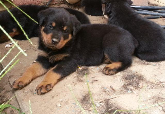 Rottweiler Puppies For Sale In Indiana Classifieds Buy And Sell In