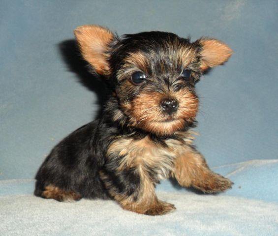 Aca Teacup Female Yorkie Puppy Health Guaranteed For Sale In Saint