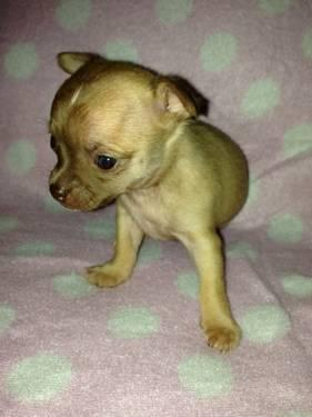 ACA registered teacup chihuahua puppies for Sale in Crescent, Oklahoma ...