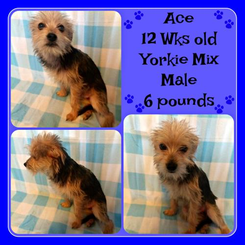 Ace Yorkshire Terrier Yorkie Baby Adoption Rescue For Sale In