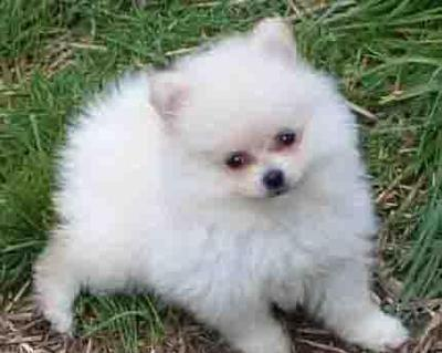 Active Potty Trained Male And Female Pomeranian Puppies For Sale In