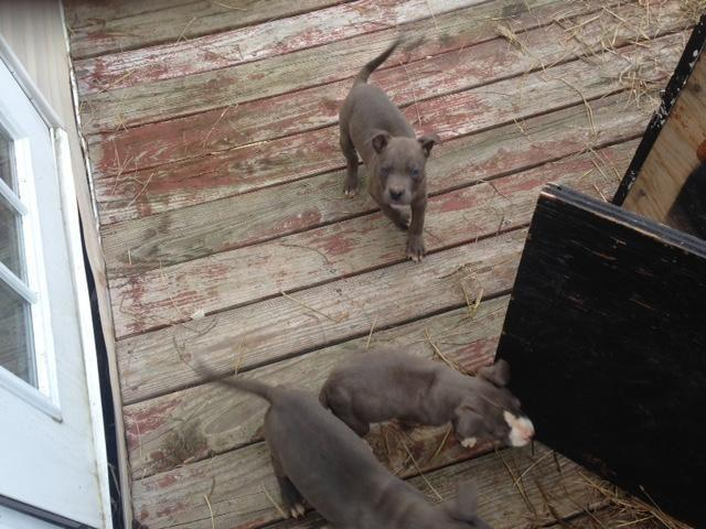 ADBA American Pitbull Terrier puppies for sale-10 weeks