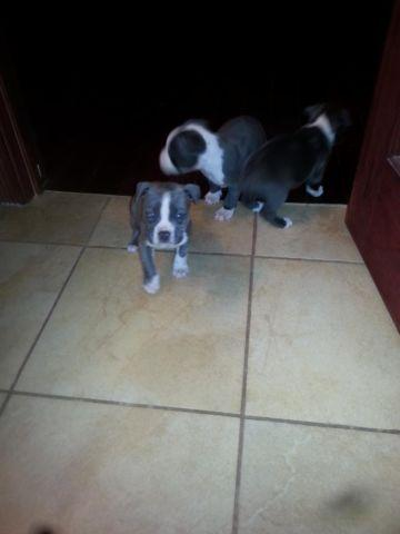 Adba Blue Nose Pit Bull Puppies For Sale In Rockford Illinois