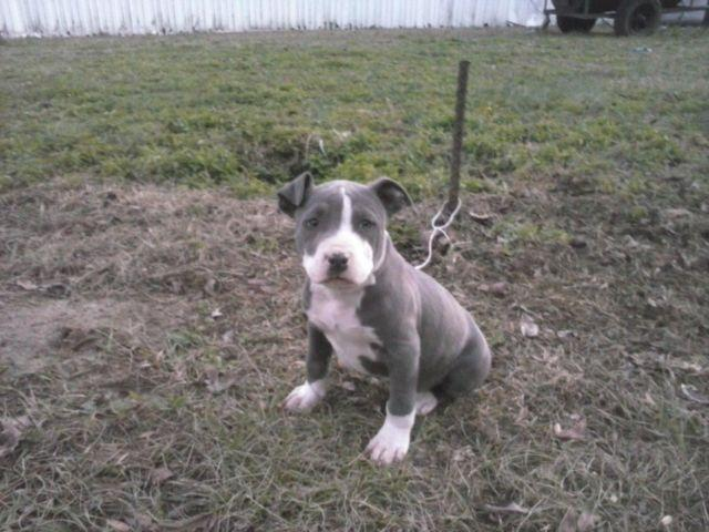 Blue Nose Pitbull Pups For Sale In North Carolina Classifieds Buy