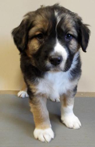 bernese mountain dog rescue il