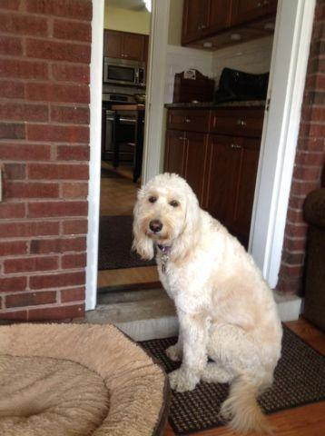 Adorable 1 1/2 year old Goldendoodle
