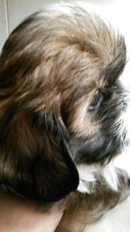 ADORABLE 10 WEEK OLD PURE BRED MALE SHIH TZU