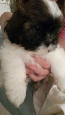 ADORABLE 11 WEEK OLD PURE BRED MALE SHIH TZU PUP. READY