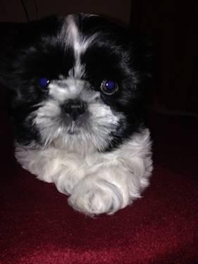 full blooded shih tzu adorable 3 4 shih tzu 1 4 maltese puppies due december 1st 8926
