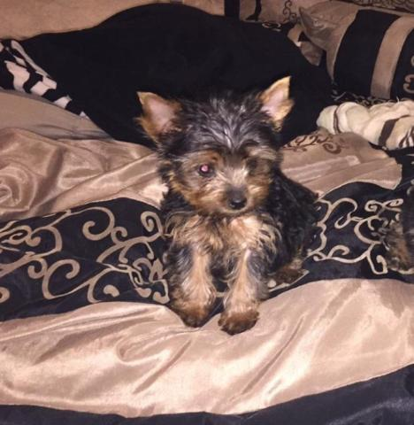 Adorable 5 Month Old Female Yorkie Yorkshire Terrier Puppy Obo For
