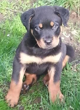 Adorable 8 Week Old Purebred Rottweiler Puppies!! for Sale ...