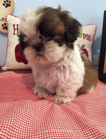 shih tzu for sale in sc adorable 8wk old shih tzu puppy for sale in spartanburg 3823