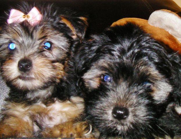 Adorable 9 week old Silkie Yorkie Puppies-male/female