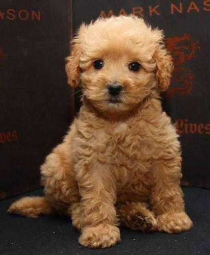 Adorable 9 Wk Cavapoo Puppies Cavalier King Poodle Non Shed For