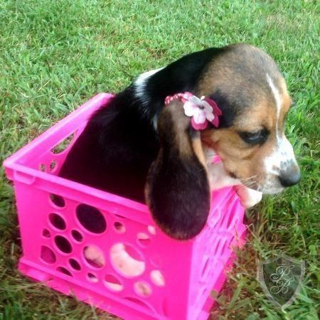 Adorable Akc 10 Weeks Old Beagle 4ever Home For Sale In